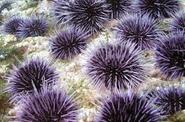 Welcome Sea Urchins!